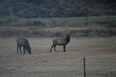 Elks - Copy